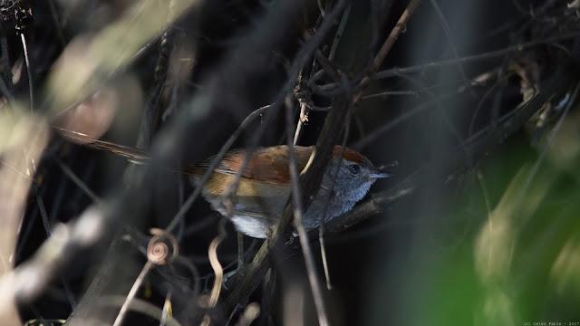 Rufous-capped Spinetail Synallaxis ruficapilla Pichororé Pijuí Coronirrojo