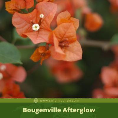 ciri ciri pohon Bougenville Afterglow