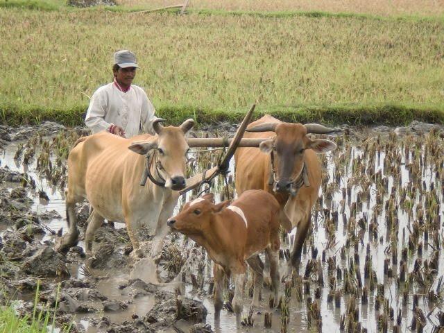 Petani Kediri Masih Membajak Sawah Dengan Sapi