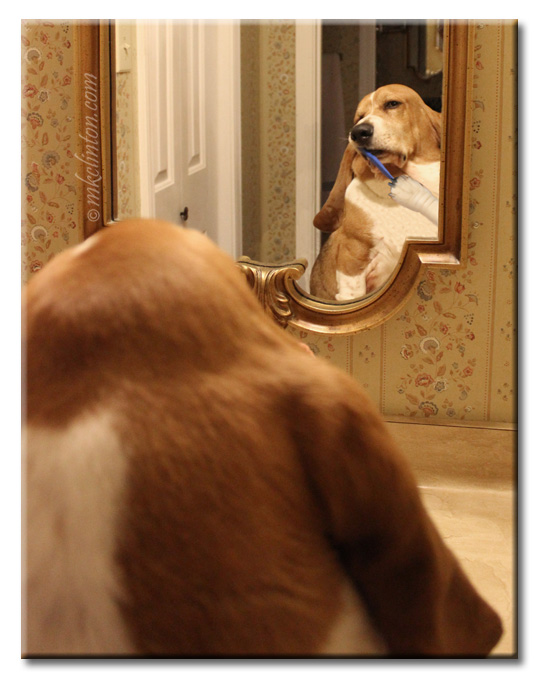 Bentley Basset brushing his teeth in bathroom mirror
