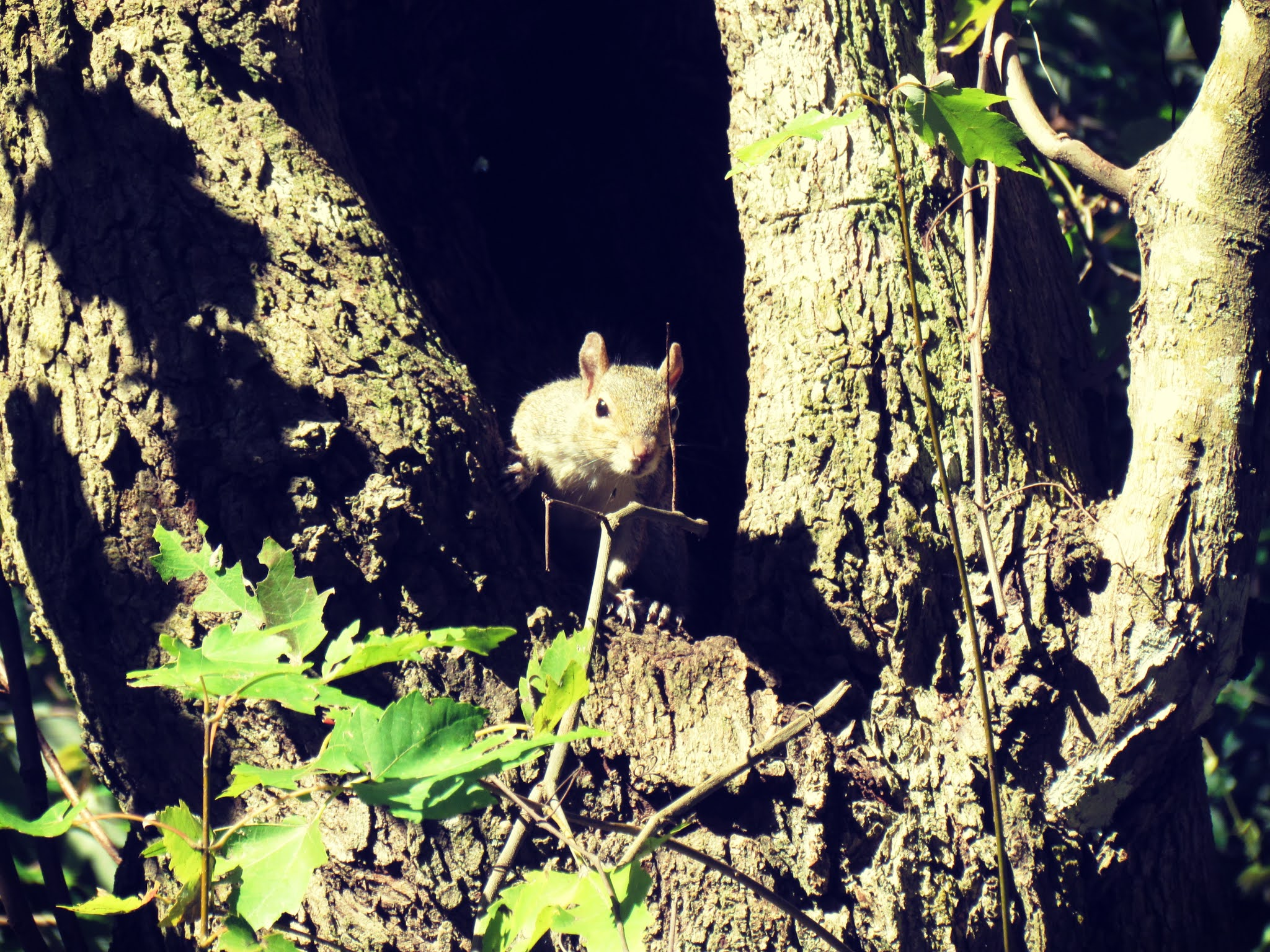 A Florida squirrel peeking his head out from a hollow in a tree in mother nature + Shadow lighting