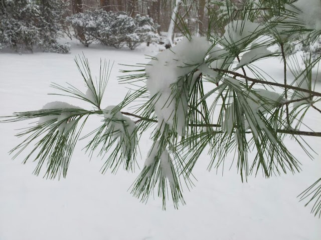 white pine branch with sbow