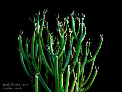 Suculenta Euphorbia tirucalli