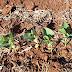 Tempo seco reduz intensidade de plantio da soja que atinge 5% da área total estimada
