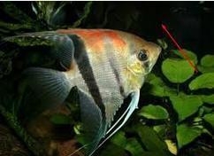 Manfish Ikan Hias Air Tawar Yang Bisa Dicampur Pada Satu Akuarium
