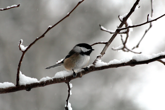 Chickadee on Maple branch, winter 2016