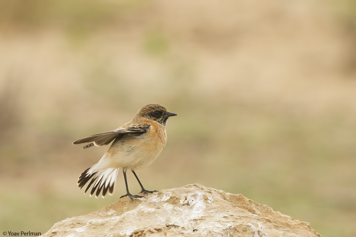 Classic Sibe birding in the Negev