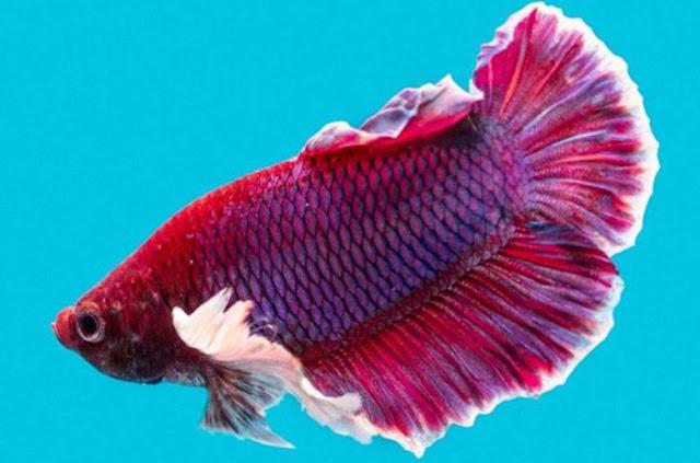 Tip-Merawat-Ikan-Cupang