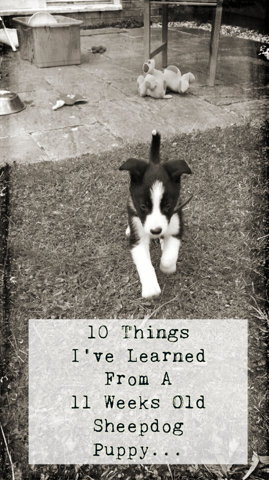 10 Things I've Learned From A 11 Week Old Sheepdog