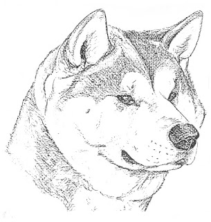 Akita drawing