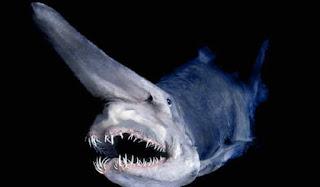 Goblin Shark / Hiu Goblin