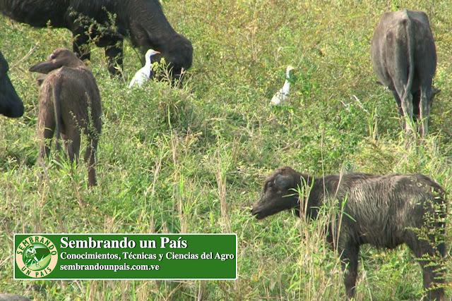 búfalos alimentación