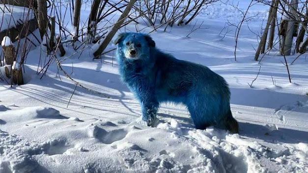RUSSIA: avvistato un branco di cani blu