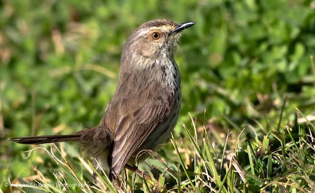 Karoo Prinia Bird Kirstenbosch National Botanical Garden Vernon Chalmers Photography