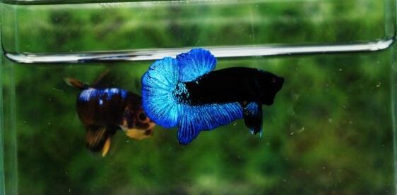 BBL Blue Black Light Avatar - Sejarah dan Jenis Ikan Avatar
