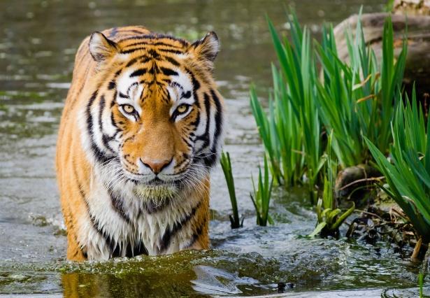 fakta harimau