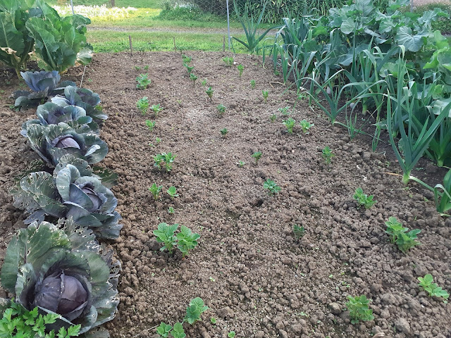Potatoes growing in early Spring