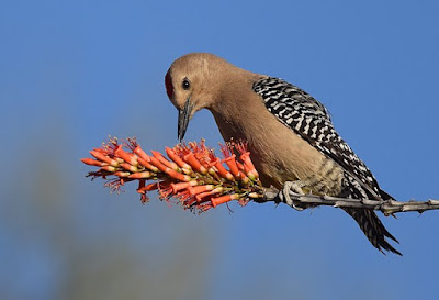Photo of a Gila Woodpecker on a flower