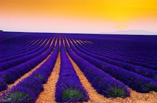 Foto Bunga Lavender Ungu yang Indah 20
