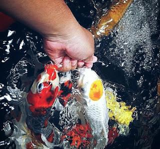 Makanan Ikan Koi Agar Cepat Besar dan Bagus
