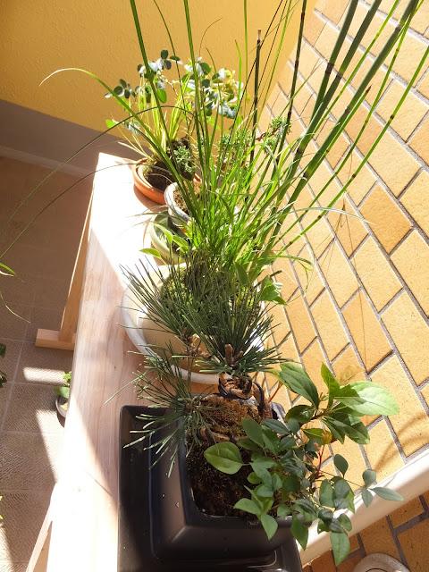 普段は室内で育てている盆栽たちです