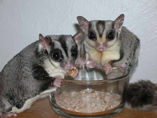 Are sugar gliders good pets