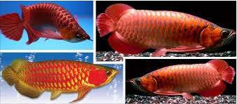 Jenis Makanan Ikan Arwana Dan Cara Pemberianya