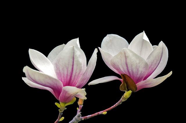 y nghia phong thuy hoa moc lan
