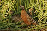 ternak puyuh, ternak burung puyuh, modal ternak puyuh, modal ternak burung puyuh, bisnis burung puyuh, bisnis ternak puyuh, usaha puyuh, burung puyuh