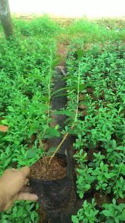 harga jual tanaman li kwan yu murah
