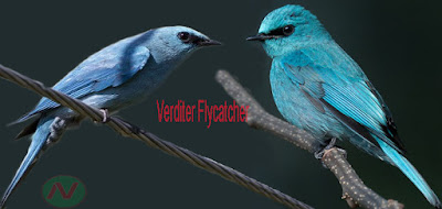 verditer flycatcher bird, নীলাম্বরি