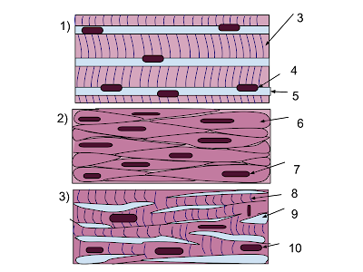 Animal Tissue Types Of Animal Tissue Structure Functions Sciencetechstudy