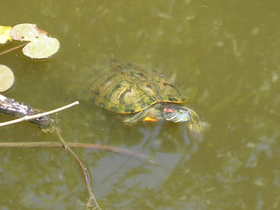 寝屋川市の山新池 ミシシッピアカミミガメ