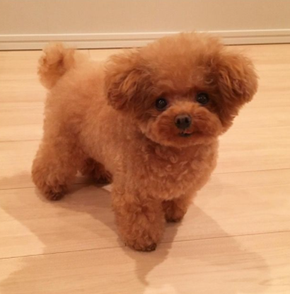 Toy Poodle puppy price in Coimbatore, Toy Poodle puppy sale Coimbatore, Toy Poodle puppy Purchase Coimbatore, Toy Poodle dog purchase Coimbatore, Toy Poodle dog sale Coimbatore