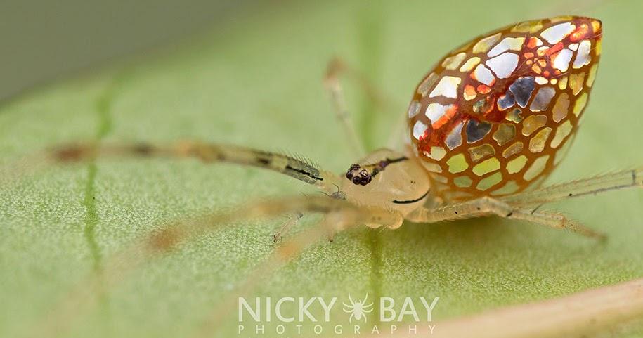 Laba-laba cantik ini terlihat seperti perhiasan yang