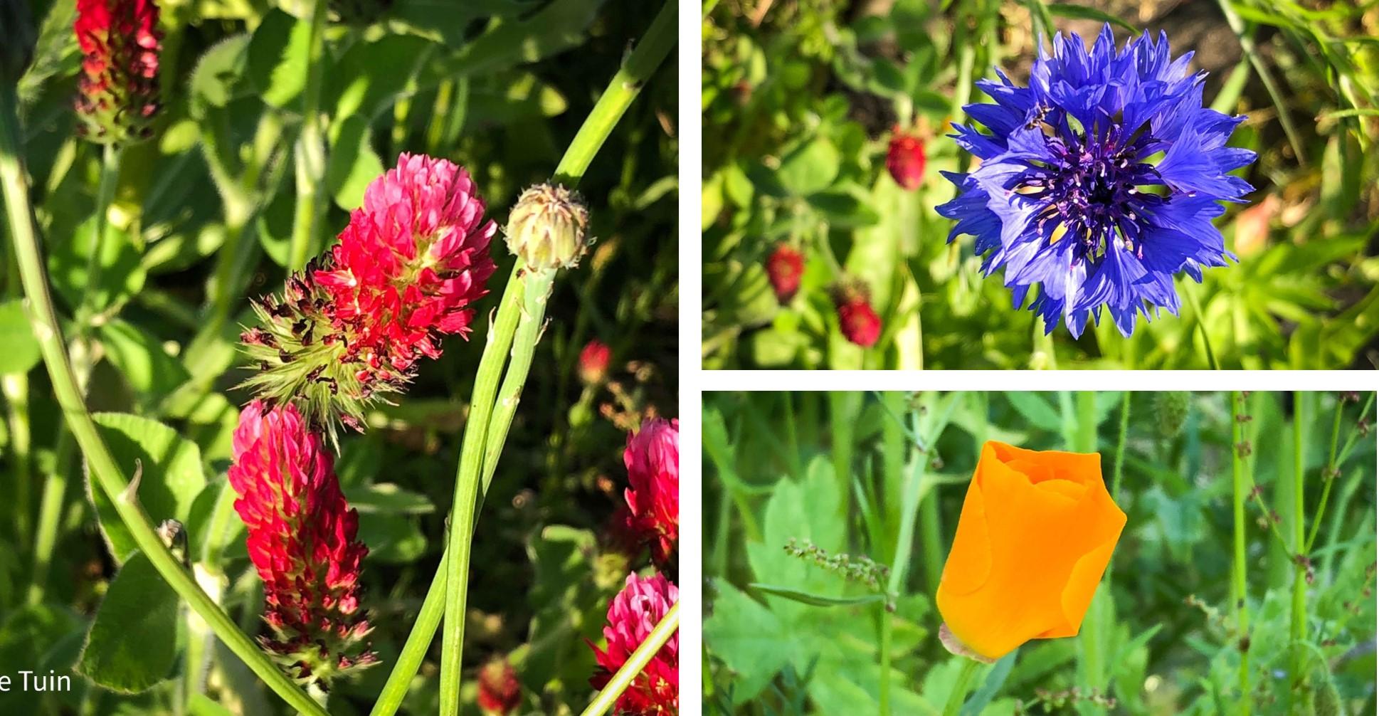 bloemen moestuin volkstuin juni klaver korenbloem