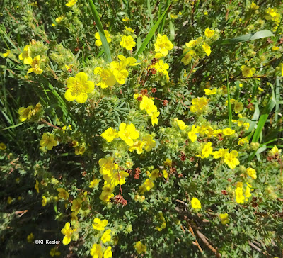 shrubby cinquefoil Dasiphora fruticosa