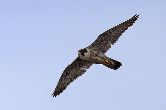 gambar burung alap alap