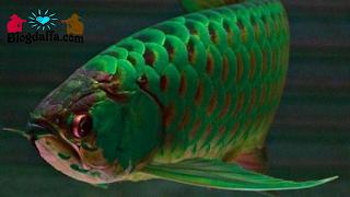 Arwana Hijau (Golden Pino)