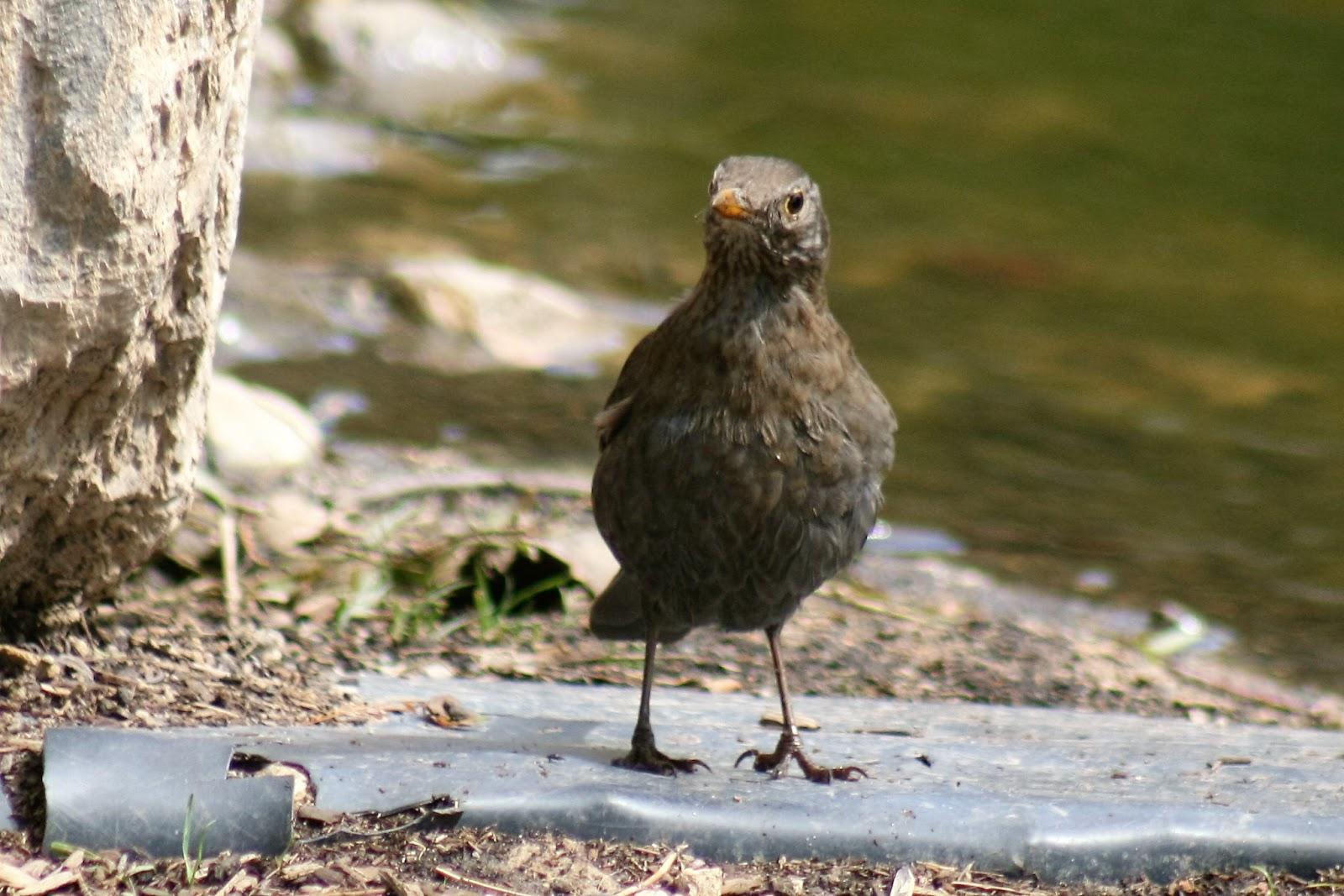 Pajaricos de murcia parques y jardines refugios de vida for Aves de jardin