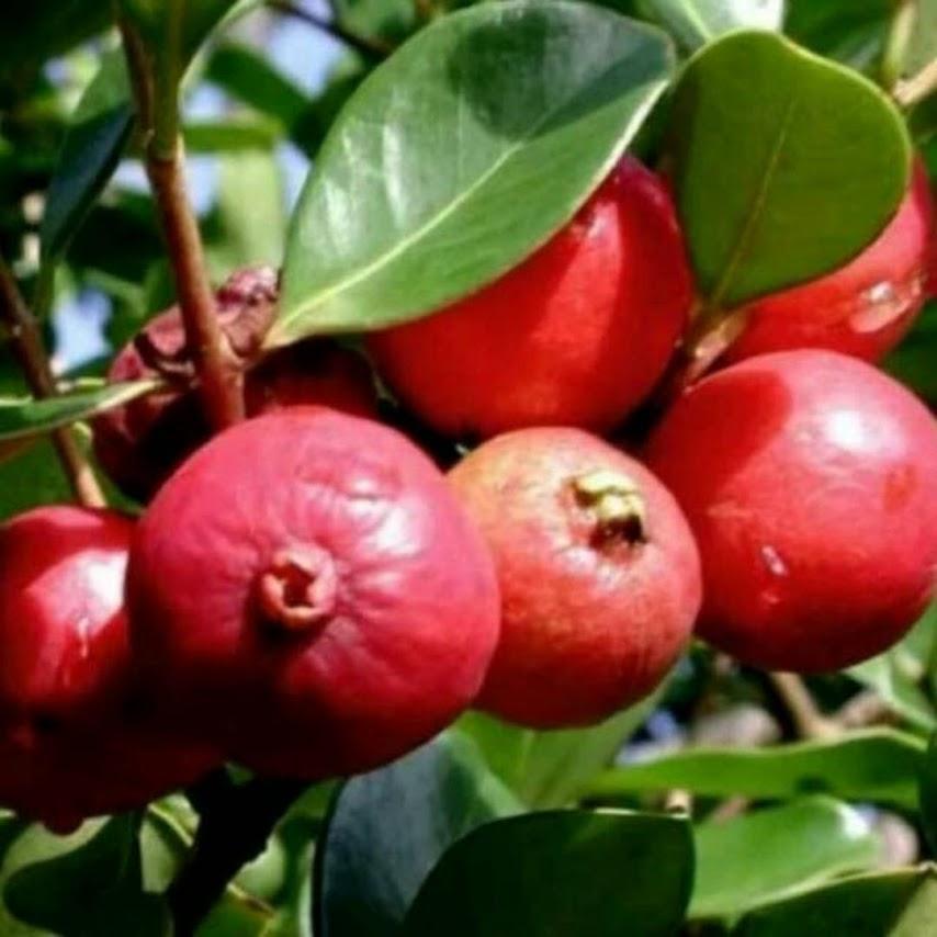 Bibit Tanaman Buah Jambu Strawberry atau Jambu Leci Cirebon