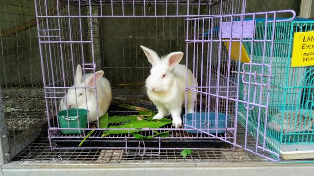 memelihara kembali sepasang kelinci