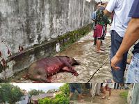 Babi Hutan Masuk Desa Pematang, 1 Korban di Larikan ke RS