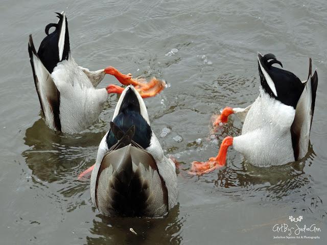 Upside-down Ducks