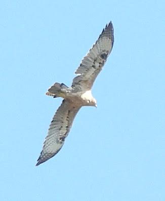 Àguila cuabarrada a la Ribera d'Ebre
