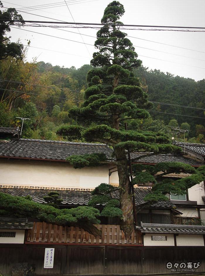 pin dans un jardin en contre-plongée