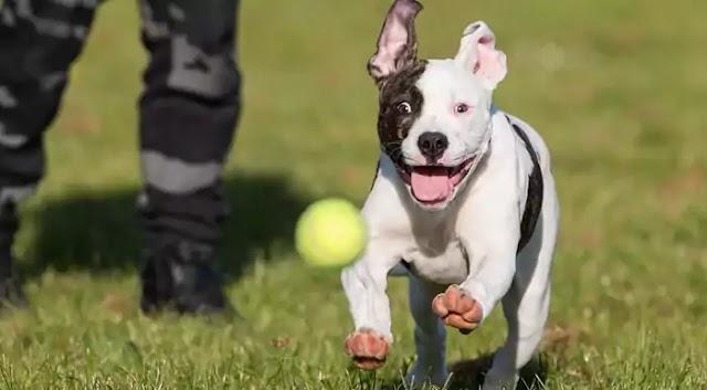 American Bulldog Dog Breed Info: Price, Characteristics, Aggressiveness & Facts