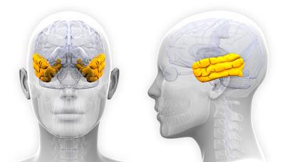 Lóbulos temporales corteza cerebral