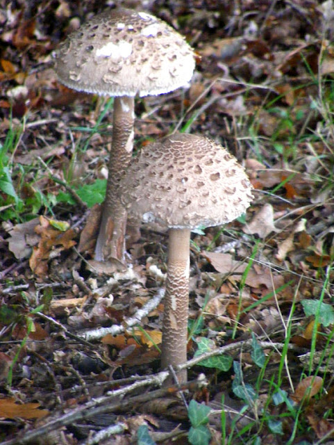 Common Parasol Mushroom Macrolepiota procera.  Indre et Loire, France. Photographed by Susan Walter. Tour the Loire Valley with a classic car and a private guide.