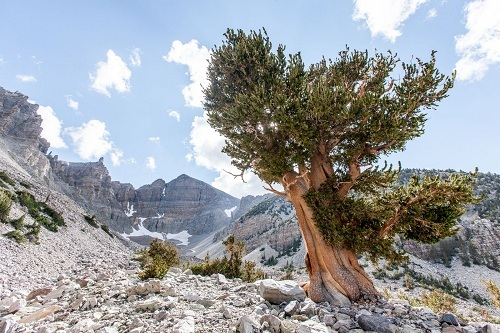 Unexpected ending of nearly 5,000 year old tree